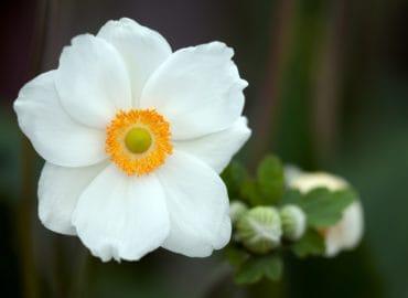 white_anemone