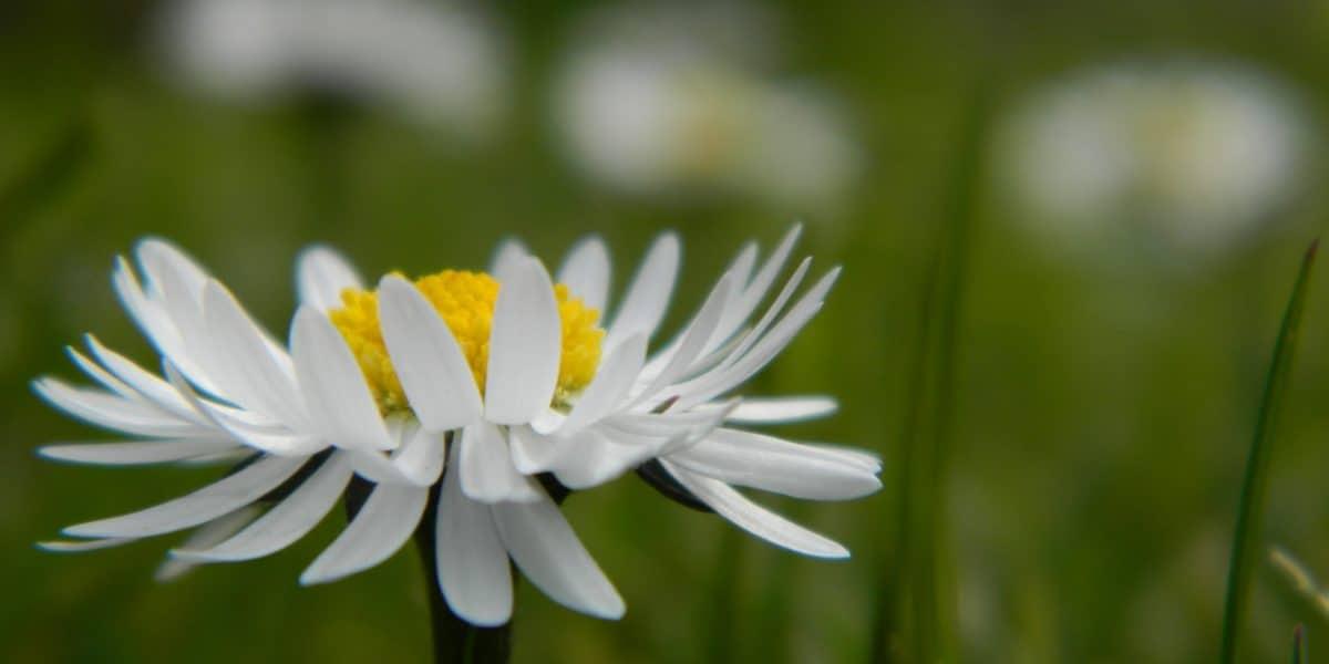 white_daisy