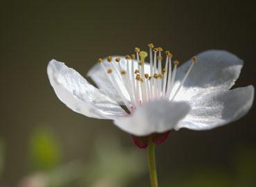 white_red_flower