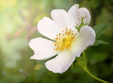 white_wild_rose